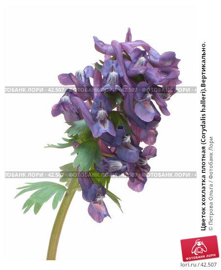 Цветок хохлатка плотная (Corydalis halleri).Вертикально., фото № 42507, снято 7 апреля 2007 г. (c) Петрова Ольга / Фотобанк Лори