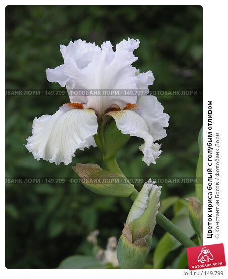 Цветок ириса белый с голубым отливом, фото № 149799, снято 26 мая 2005 г. (c) Константин Босов / Фотобанк Лори