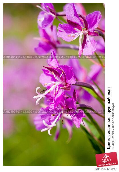 Цветок иван-чая, крупный план, фото № 63899, снято 7 июля 2007 г. (c) Argument / Фотобанк Лори
