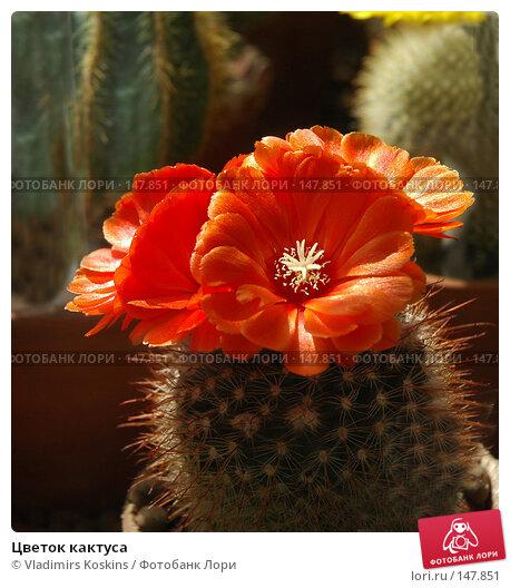 Цветок кактуса, фото № 147851, снято 28 мая 2006 г. (c) Vladimirs Koskins / Фотобанк Лори