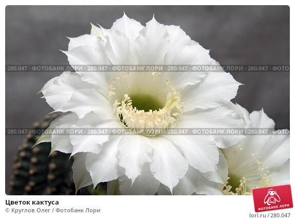 Купить «Цветок кактуса», фото № 280047, снято 7 мая 2008 г. (c) Круглов Олег / Фотобанк Лори