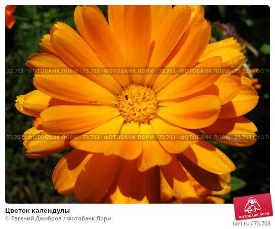Цветок календулы, фото № 73703, снято 17 августа 2007 г. (c) Лысых Константин / Фотобанк Лори