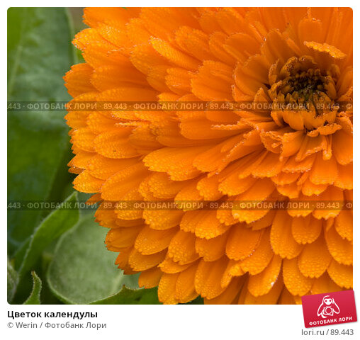 Цветок календулы, фото № 89443, снято 27 сентября 2007 г. (c) Werin / Фотобанк Лори