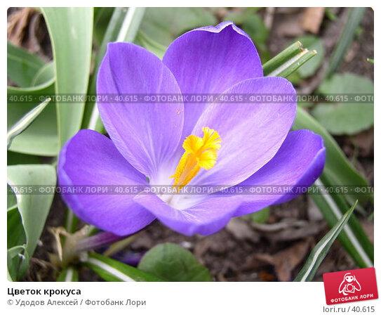 Купить «Цветок крокуса», фото № 40615, снято 18 апреля 2007 г. (c) Удодов Алексей / Фотобанк Лори
