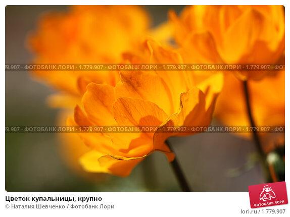 Купить «Цветок купальницы, крупно», фото № 1779907, снято 15 июня 2010 г. (c) Наталия Шевченко / Фотобанк Лори