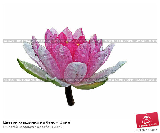Купить «Цветок кувшинки на белом фоне», фото № 42643, снято 31 августа 2005 г. (c) Сергей Васильев / Фотобанк Лори