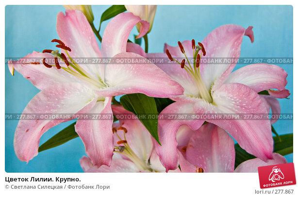 Цветок Лилии. Крупно., фото № 277867, снято 9 мая 2008 г. (c) Светлана Силецкая / Фотобанк Лори