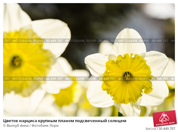 Купить «Цветок нарциса крупным планом подсвеченный солнцем», фото № 30449707, снято 7 апреля 2018 г. (c) Выскуб Анна / Фотобанк Лори