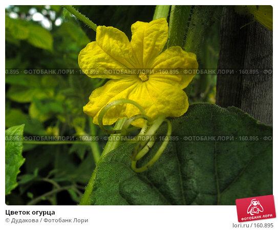 Цветок огурца, фото № 160895, снято 21 июля 2007 г. (c) Дудакова / Фотобанк Лори