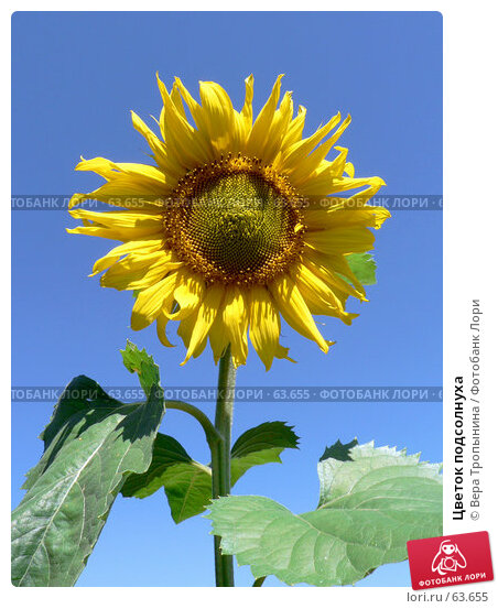 Цветок подсолнуха, фото № 63655, снято 17 июля 2007 г. (c) Вера Тропынина / Фотобанк Лори