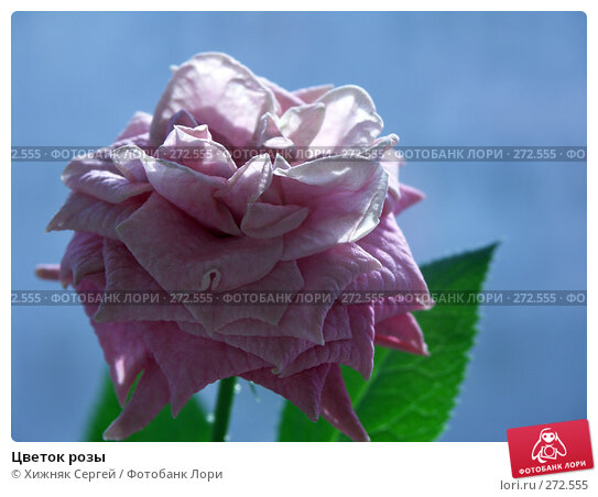 Цветок розы, фото № 272555, снято 26 апреля 2008 г. (c) Хижняк Сергей / Фотобанк Лори
