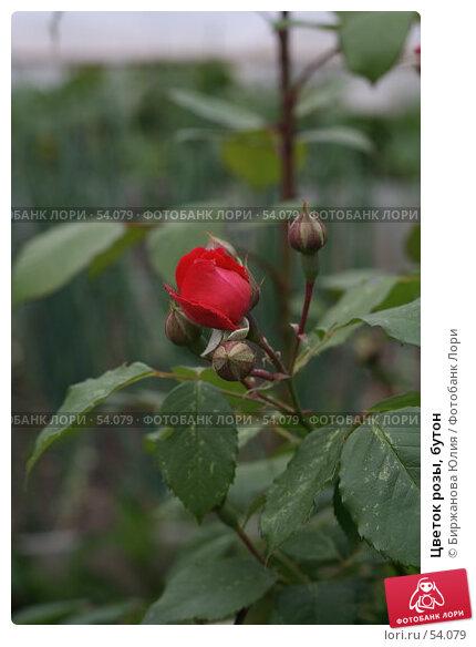 Цветок розы, бутон, фото № 54079, снято 16 июня 2007 г. (c) Биржанова Юлия / Фотобанк Лори