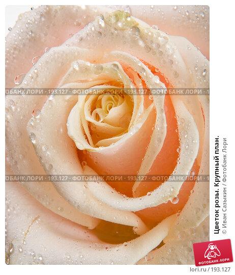 Цветок розы. Крупный план., фото № 193127, снято 30 января 2008 г. (c) Иван Сазыкин / Фотобанк Лори