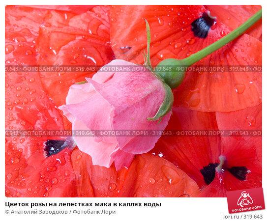 Цветок розы на лепестках мака в каплях воды, фото № 319643, снято 27 мая 2007 г. (c) Анатолий Заводсков / Фотобанк Лори