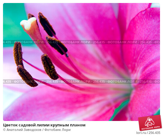 Цветок садовой лилии крупным планом, фото № 256435, снято 23 июля 2006 г. (c) Анатолий Заводсков / Фотобанк Лори