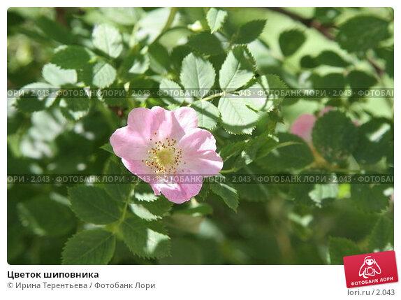 Цветок шиповника, эксклюзивное фото № 2043, снято 16 июня 2005 г. (c) Ирина Терентьева / Фотобанк Лори