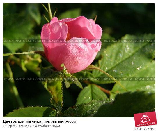 Цветок шиповника, покрытый росой, фото № 26451, снято 8 июня 2006 г. (c) Сергей Ксейдор / Фотобанк Лори