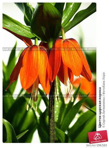 Цветок царская корона, фото № 256523, снято 19 апреля 2008 г. (c) Сергей Литвиненко / Фотобанк Лори