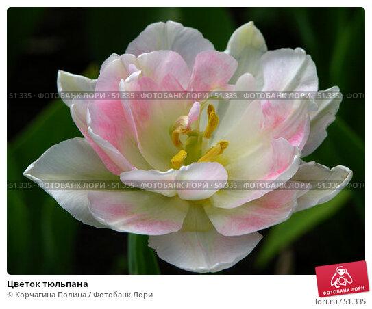 Цветок тюльпана, фото № 51335, снято 21 мая 2006 г. (c) Корчагина Полина / Фотобанк Лори