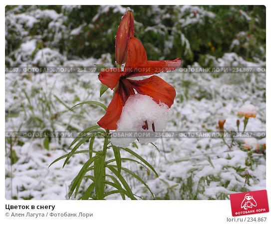Цветок в снегу, фото № 234867, снято 10 августа 2004 г. (c) Ален Лагута / Фотобанк Лори