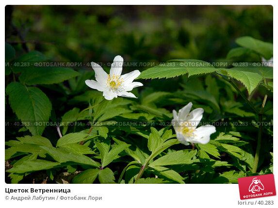 Цветок Ветренница, фото № 40283, снято 6 мая 2007 г. (c) Андрей Лабутин / Фотобанк Лори