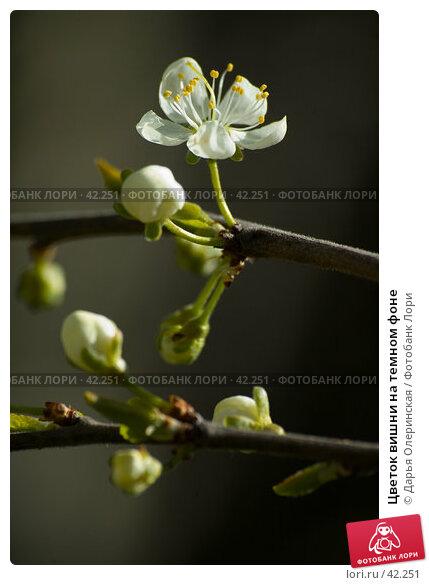 Цветок вишни на темном фоне, фото № 42251, снято 7 мая 2007 г. (c) Дарья Олеринская / Фотобанк Лори
