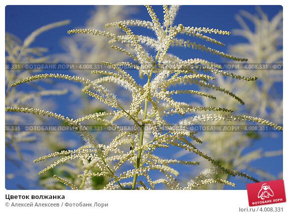 Цветок волжанка. Стоковое фото, фотограф Алексей Алексеев / Фотобанк Лори