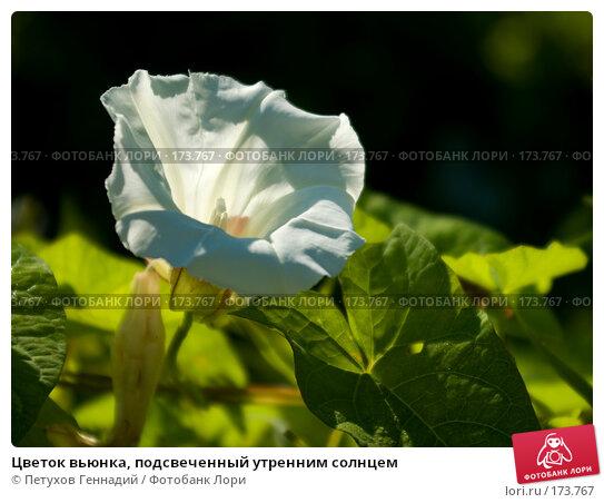 Цветок вьюнка, подсвеченный утренним солнцем, фото № 173767, снято 15 июля 2007 г. (c) Петухов Геннадий / Фотобанк Лори