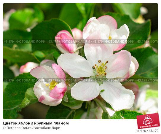 Цветок яблони крупным планом, фото № 43179, снято 13 мая 2007 г. (c) Петрова Ольга / Фотобанк Лори