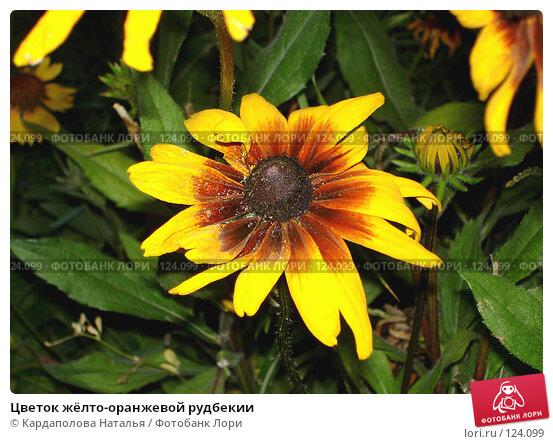 Купить «Цветок жёлто-оранжевой рудбекии», фото № 124099, снято 24 июля 2006 г. (c) Кардаполова Наталья / Фотобанк Лори