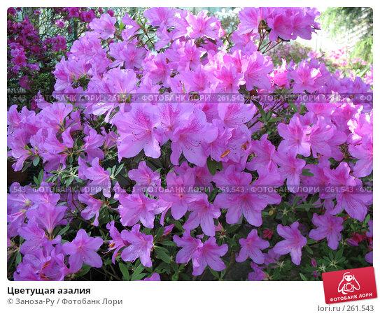 Купить «Цветущая азалия», фото № 261543, снято 12 апреля 2008 г. (c) Заноза-Ру / Фотобанк Лори