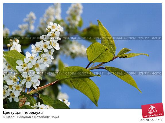 Цветущая черемуха, фото № 279711, снято 10 мая 2008 г. (c) Игорь Соколов / Фотобанк Лори