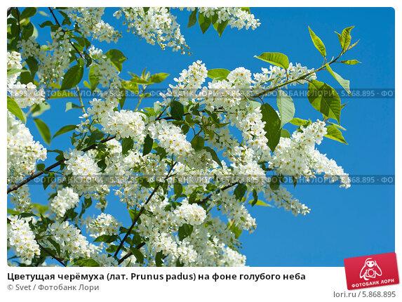 Купить «Цветущая черёмуха (лат. Prunus padus) на фоне голубого неба», эксклюзивное фото № 5868895, снято 27 апреля 2014 г. (c) Svet / Фотобанк Лори
