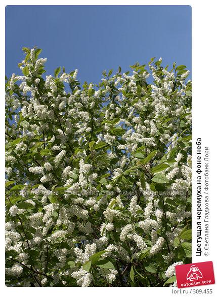 Купить «Цветущая черемуха на фоне неба», фото № 309455, снято 29 апреля 2008 г. (c) Cветлана Гладкова / Фотобанк Лори