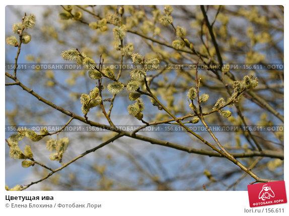 Купить «Цветущая ива», фото № 156611, снято 11 апреля 2007 г. (c) Елена Блохина / Фотобанк Лори
