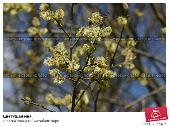 Цветущая ива, фото № 156615, снято 11 апреля 2007 г. (c) Елена Блохина / Фотобанк Лори