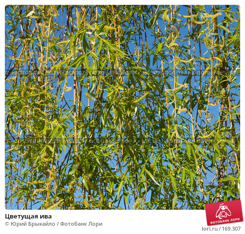 Купить «Цветущая ива», фото № 169307, снято 23 апреля 2018 г. (c) Юрий Брыкайло / Фотобанк Лори