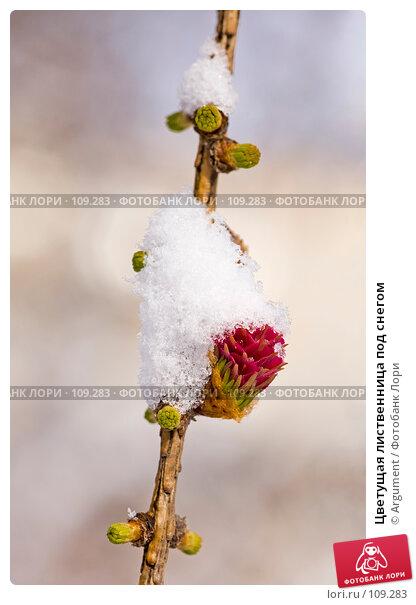 Купить «Цветущая лиственница под снегом», фото № 109283, снято 8 апреля 2007 г. (c) Argument / Фотобанк Лори