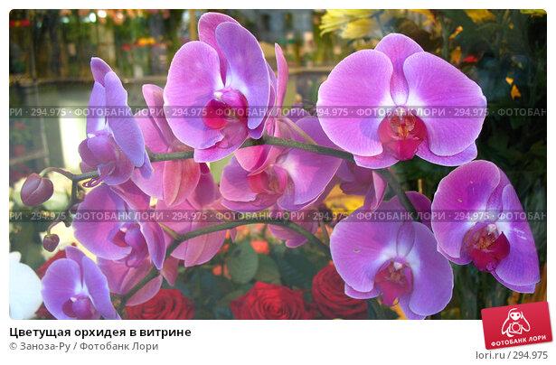 Купить «Цветущая орхидея в витрине», фото № 294975, снято 17 мая 2008 г. (c) Заноза-Ру / Фотобанк Лори