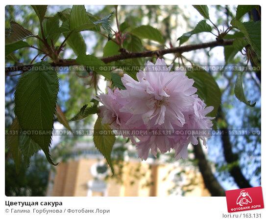 Цветущая сакура, фото № 163131, снято 30 апреля 2006 г. (c) Галина  Горбунова / Фотобанк Лори