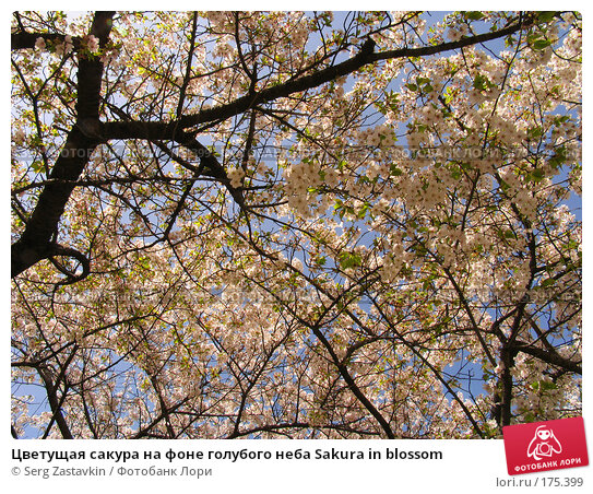 Цветущая сакура на фоне голубого неба Sakura in blossom, фото № 175399, снято 3 апреля 2007 г. (c) Serg Zastavkin / Фотобанк Лори