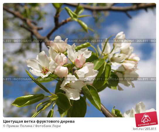Цветущая ветка фруктового дерева, фото № 265811, снято 26 апреля 2008 г. (c) Примак Полина / Фотобанк Лори