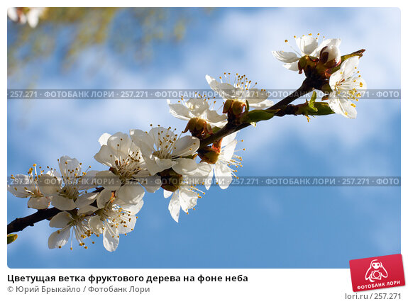 Цветущая ветка фруктового дерева на фоне неба, фото № 257271, снято 12 апреля 2008 г. (c) Юрий Брыкайло / Фотобанк Лори