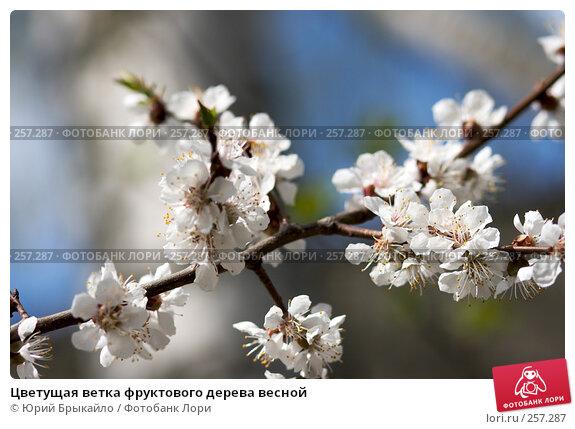 Купить «Цветущая ветка фруктового дерева весной», фото № 257287, снято 12 апреля 2008 г. (c) Юрий Брыкайло / Фотобанк Лори