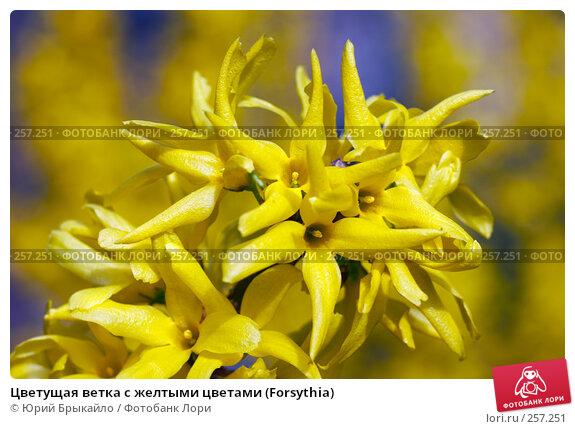 Цветущая ветка с желтыми цветами (Forsythia), фото № 257251, снято 11 апреля 2008 г. (c) Юрий Брыкайло / Фотобанк Лори