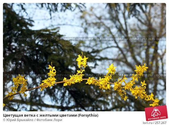 Цветущая ветка с желтыми цветами (Forsythia), фото № 257267, снято 11 апреля 2008 г. (c) Юрий Брыкайло / Фотобанк Лори