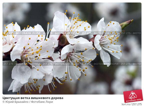 Цветущая ветка вишневого дерева, фото № 257275, снято 12 апреля 2008 г. (c) Юрий Брыкайло / Фотобанк Лори