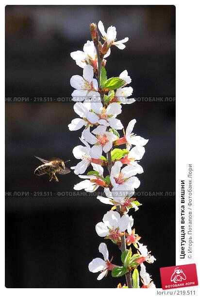 Цветущая ветка вишни, фото № 219511, снято 3 декабря 2004 г. (c) Игорь Потапов / Фотобанк Лори