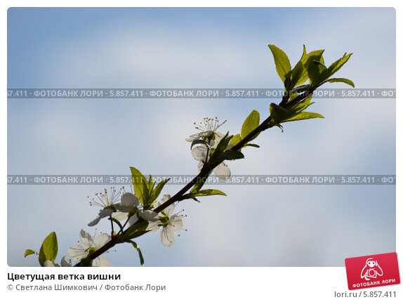 Цветущая ветка вишни, фото № 5857411, снято 30 апреля 2014 г. (c) Светлана Шимкович / Фотобанк Лори