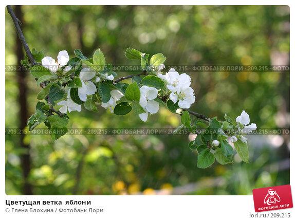 Купить «Цветущая ветка  яблони», фото № 209215, снято 21 мая 2007 г. (c) Елена Блохина / Фотобанк Лори